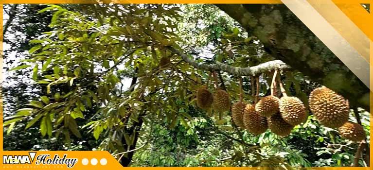 wisata warso farm durian bogor