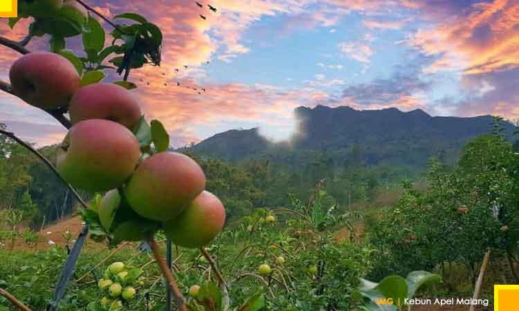 Kebun apel batu malang